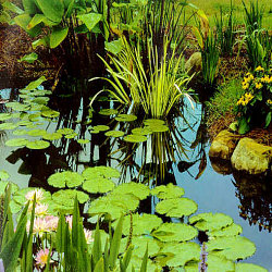 How to prepare your water garden for a winter chill by for Deep pond plants